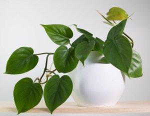 Heartleaf Philodedron Plant