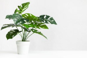 Monstera Deliosa Plant
